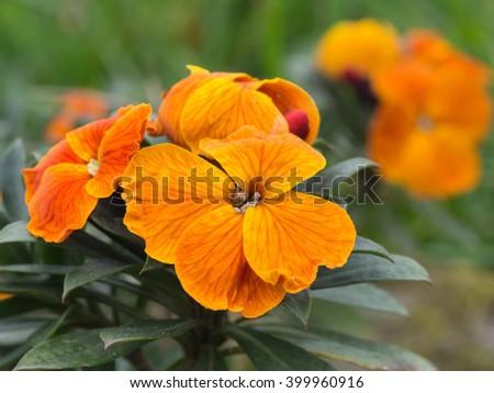 Erysimum aka wallflower. Spring garden plant, orange bloom. - stock photo
