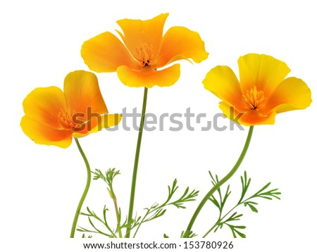 Eschscholzia californica flower on a white background  - stock photo