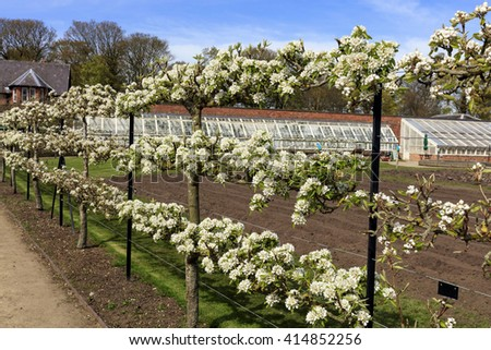 Espaliered blossoming fruit trees in a garden during springtime. - stock photo