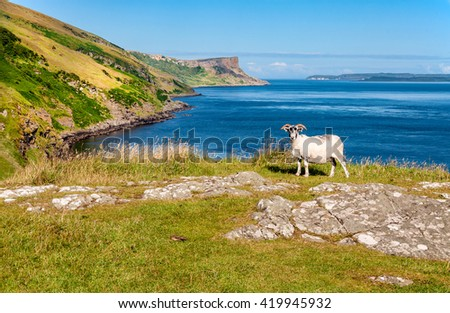Essence of Northern Ireland. A white male sheep (ram) and cliffs on the Northern Coast of Antrim County in Northern Ireland and a fragment of Rathlin Island. . - stock photo