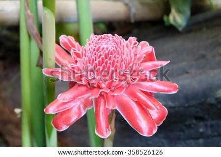 Etlingera elatior flower - stock photo
