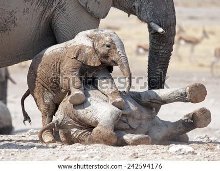 Etosha National Park Namibia, Africa ,young elephants playing. - stock photo