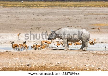 Etosha Waterhole with Black Rhinoceros and springbok - stock photo