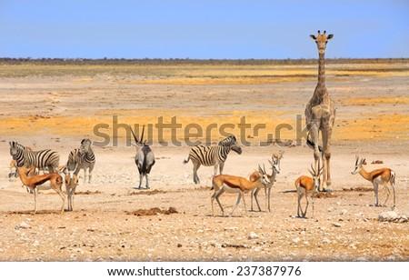 Etosha Waterhole with Giraffe, Zebra, oryx and springbok - stock photo