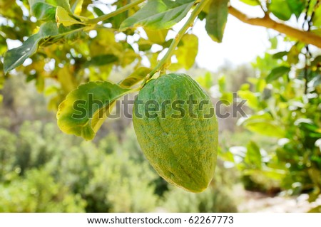 Etrog (citron) on a branch. A fruit used in Sukkot jewish holiday - stock photo