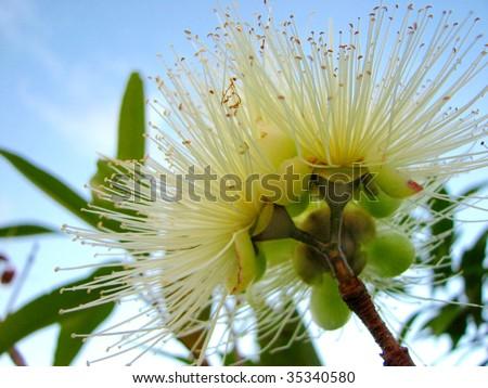 Eucalyptus bloom - stock photo