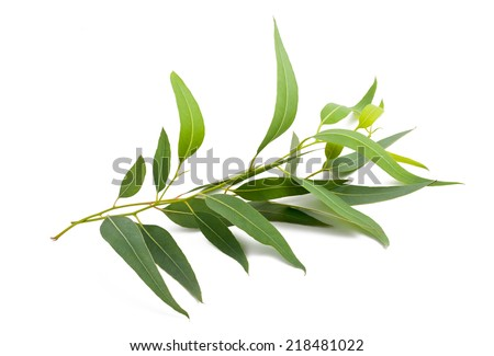 eucalyptus branch isolated on white background - stock photo