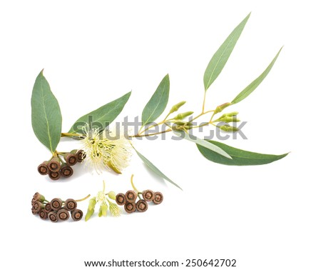 eucalyptus branch with flowers and seeds isolated on white - stock photo