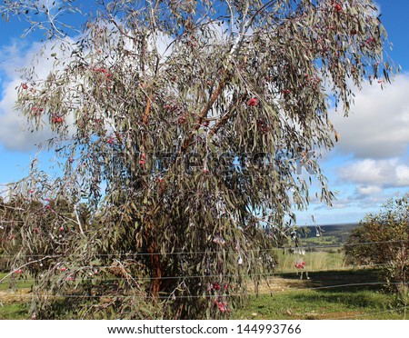 Eucalyptus Caesia, silver princess or gungurru, is a spectacular small weeping  gum tree native to Western Australian mallee districts with silvery buds and bark.
