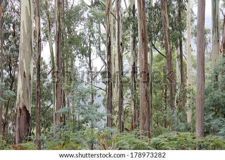 Eucalyptus Forest High Country, Victoria, Australia 2 - stock photo