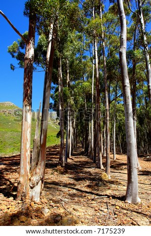 Eucalyptus forest in scenic mountains. Shot in Stellenbosch Mountain, Western Cape, South Africa. - stock photo