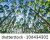 eucalyptus forests are very high up, grow up to sky - stock photo