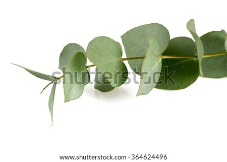 eucalyptus isolated on white - stock photo