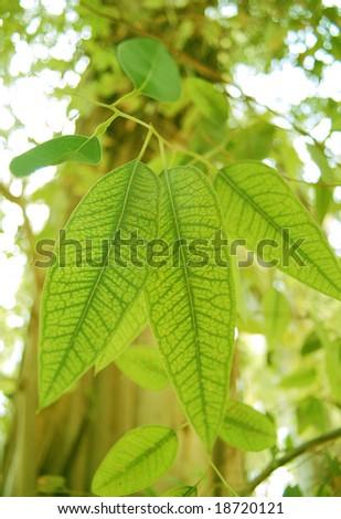Eucalyptus leaf macro - stock photo