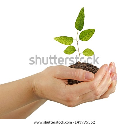 Eucalyptus Sapling in hands