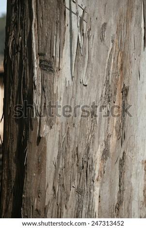 eucalyptus texture in nature - stock photo
