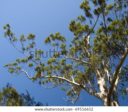 Eucalyptus tree against deep blue summer skies; Glass House Mountains, Queensland, Australia. - stock photo