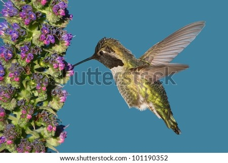 Eugenes fulgens (magnificent hummingbird) feeding on small flowers
