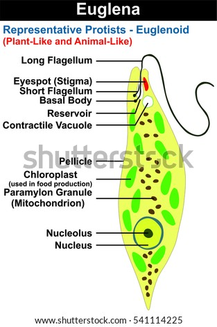 Flat cell diagram with flagella online schematic diagram euglena cross section diagram representative protists stock rh shutterstock com pili cell diagram plant cell microtubules ccuart Choice Image