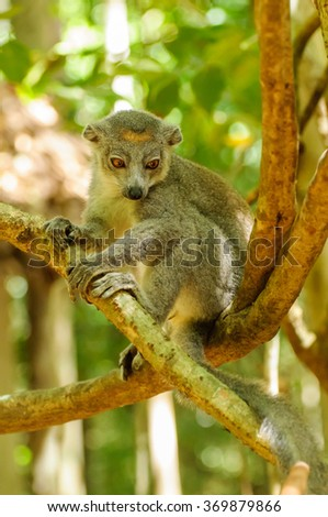 Eulemur Coronatus: A Crowned Lemur resting on a tree