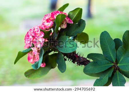 Euphorbia crown of thorns tropical flower close up - stock photo