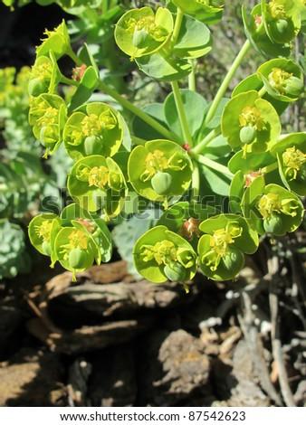 Euphorbia, Gopher Plant - stock photo