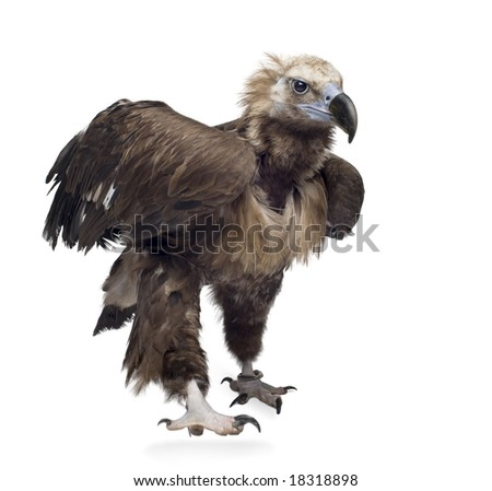 Eurasian Black Vulture (42 years) -  Aegypius monachus   in front of a white background