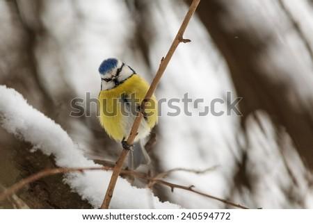 Eurasian blue tit at snowy bush - stock photo