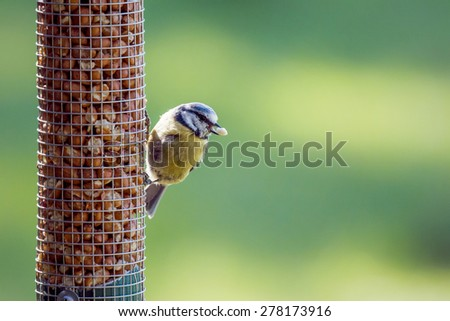 Eurasian Blue Tit eating peanuts from a Northumberland garden in springtime - stock photo
