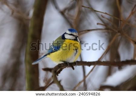 Eurasian blue tit in winter - stock photo