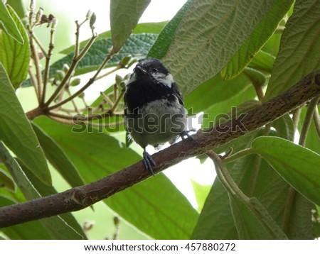 Eurasian Coal Tit Bird - Parus ater - stock photo