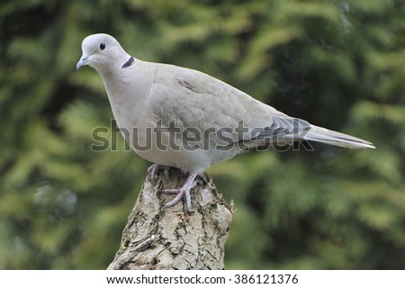 Eurasian collared dove - stock photo