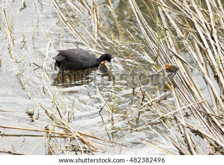 Eurasian coot (Fulica atra) with chicks