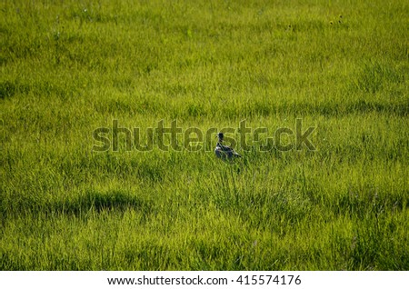 eurasian curlew in summer field
