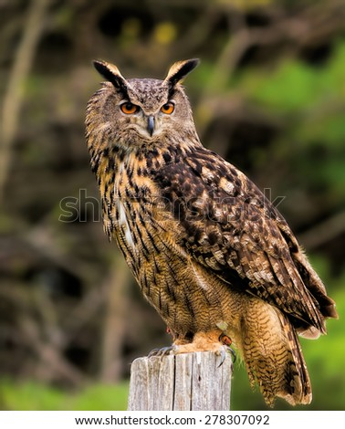 Eurasian Eagle Owl - stock photo