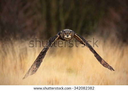Eurasian Eagle Owl, Bubo bubo, flying bird  with open wings in grass meadow, forest in the background