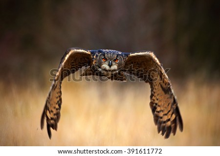 Eurasian Eagle Owl, Bubo bubo, flying bird with open wings in grass meadow, forest in the background, animal in the nature habitat, Sweden - stock photo
