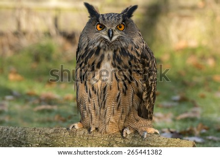 Eurasian eagle Owl ,Bubo bubo, perched on a branch - stock photo