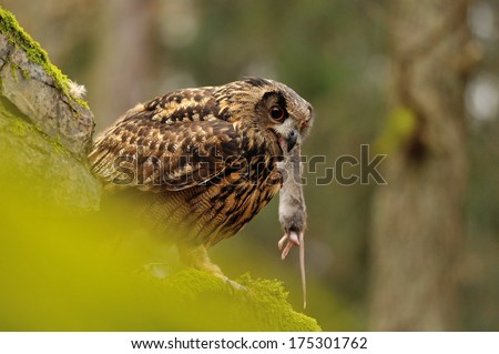 Eurasian Eagle Owl eating his mouse pray on moss rock - stock photo