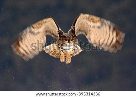Eurasian Eagle Owl fly hunting during winter surrounded with snowflakes, action flying scene with bird, animal in the nature habitat, Norway - stock photo