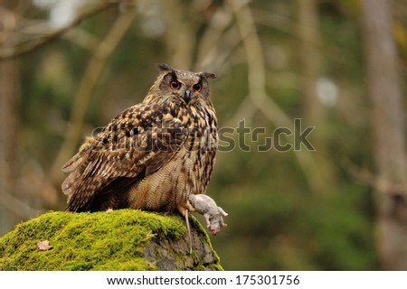 Eurasian Eagle Owl holding mouse as prey on moss rock - stock photo