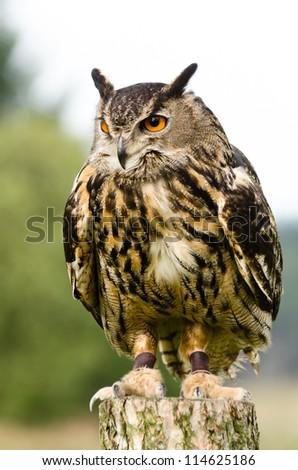 Eurasian Eagle Owl on log / Eurasian Eagle Owl (bubo bubo) also known as the european eagle owl perched on log - stock photo
