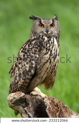Eurasian Eagle Owl Perched on Tree Stump/Eagle Owl/Eagle Owl (bubo bubo) - stock photo