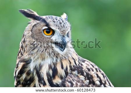 Eurasian eagle owl portrait. - stock photo