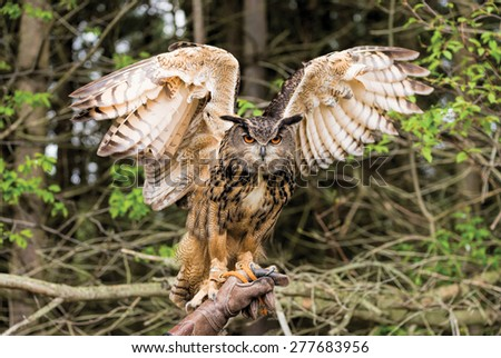 Eurasian Eagle Owl with raised wings - stock photo