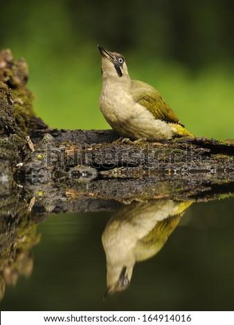 Eurasian green woodpecker, Picus viridis, yaffle, nickle - stock photo