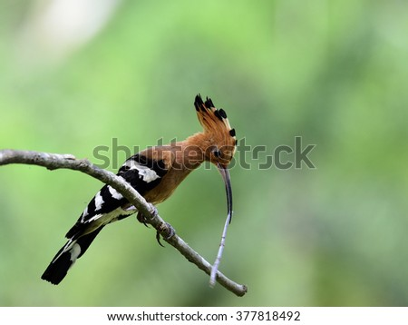 Eurasian Hoopoe or Common Hoopoe (Upupa epops) the beautiful brown bird with spiky hair perching on the branch waiting to feed its chicks in the hole nest, beautiful crested bird on the feeding season - stock photo