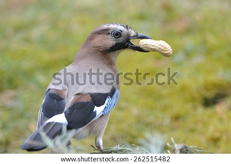Eurasian jay on a dry branch - stock photo