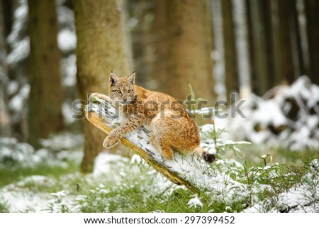 Eurasian lynx cub lying on tree trunk in winter colorful forest with snow around. Trees in background. Freeze cold season. - stock photo