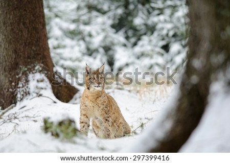 Eurasian lynx cub sitting in winter colorful forest with snow. Green trees in background. Freeze cold season. - stock photo